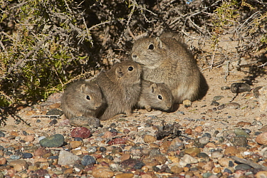 Southern Mountain Cavy (Microcavia australis) mother and young, Puerto Madryn, Argentina