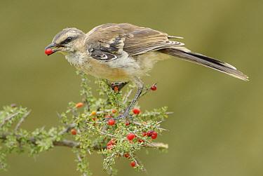 Chalk-browed Mockingbird (Mimus saturninus) feeding on berries, Argentina