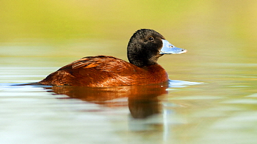 Lake Duck (Oxyura vittata), Argentina