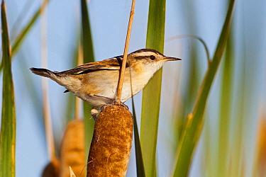 Wren-like Rushbird (Phleocryptes melanops), Bahia Blanca, Argentina