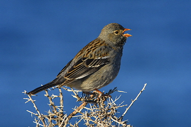Mourning Sierra-Finch (Phrygilus fruticeti) male calling, Puerto Madryn, Argentina