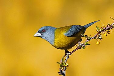 Patagonian Sierra-Finch (Phrygilus patagonicus), San Carlos de Bariloche, Argentina