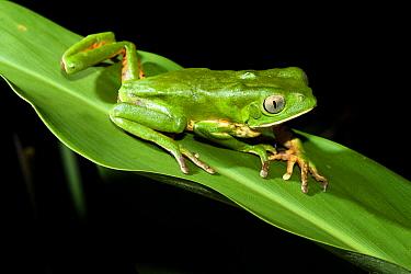 Tree Frog (Phyllomedusa tetraploidea), Argentina