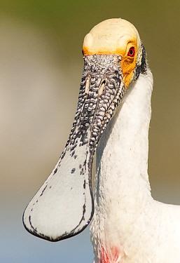 Roseate Spoonbill (Platalea ajaja) juvenile, Argentina