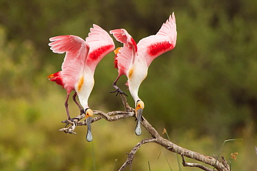 Roseate Spoonbill (Platalea ajaja) pair courting, Argentina