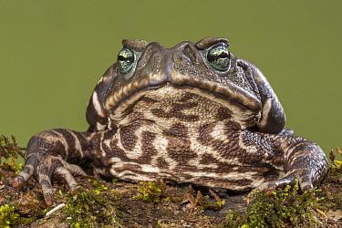 Yellow Cururu Toad (Rhinella icterica), Argentina