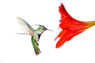 Plovercrest (Stephanoxis lalandi) hummingbird feeding on flower nectar, Argentina