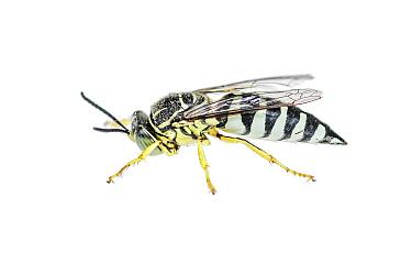 Horse Guard Wasp (Stictia signata), Argentina