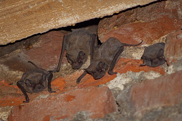 Brazilian Free-tailed Bat (Tadarida brasiliensis) group roosting, Bahia Blanca, Argentina