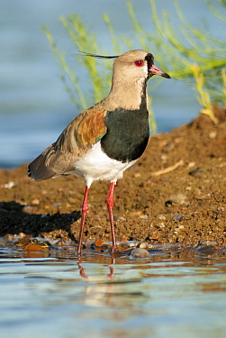 Southern Lapwing (Vanellus chilensis), Argentina