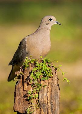 Eared Dove (Zenaida auriculata), Argentina