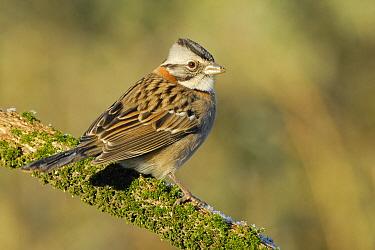 Rufous-collared Sparrow (Zonotrichia capensis), Argentina