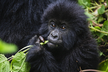 Mountain Gorilla (Gorilla gorilla beringei) young feeding, Parc National des Volcans, Rwanda