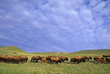 American Bison (Bison bison) herd in grassland, Montana