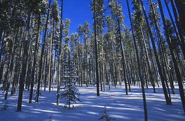 Coniferous trees in winter, Targhee National Forest, Idaho