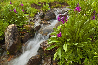 Parry's Primrose (Primula parryi) flowers and mountain stream, American Basin, Colorado