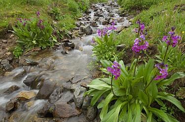 Parry's Primrose (Primula parryi) flowers and mountain stream, American Basin, Colorado