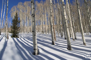 Quaking Aspen (Populus tremuloides) forest in winter, Aspen, Colorado