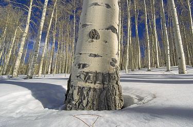 Quaking Aspen (Populus tremuloides) forest in winter, Aspen, Colorado