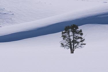 Pine (Pinus sp) tree in winter, Hayden Valley, Yellowstone National Park, Wyoming