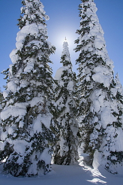 Pine (Pinus sp) trees in winter, Two Top Mountain, Idaho
