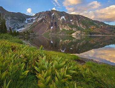 Green False Hellebore (Veratrum viride) along lake, Dana Plateau, Ellery Lake, Sierra Nevada, Inyo National Forest, California