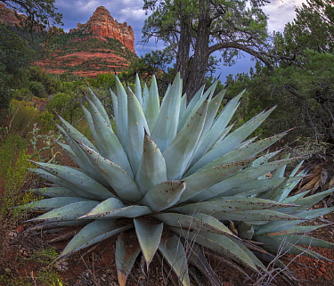 Agave (Agave sp), Munds Mountain Wilderness, Arizona