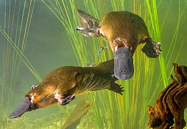Platypus (Ornithorhynchus anatinus) pair courting, Tasmania, Australia