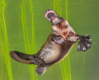 Platypus (Ornithorhynchus anatinus) swimming, Tasmania, Australia