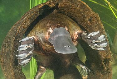 Platypus (Ornithorhynchus anatinus) resting in hollow log underwater, Tasmania, Australia