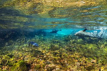Galapagos Sea Lion (Zalophus wollebaeki) pair hunting Yellowfin Tuna (Thunnus albacares), Punta Albemarle, Isabela Island, Galapagos Islands, Ecuador