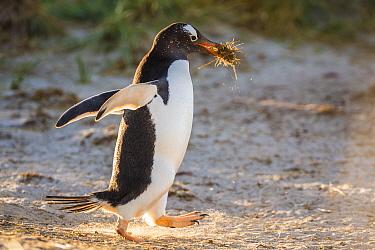 Gentoo Penguin (Pygoscelis papua) carrying nesting material, Dunbar Island, Falkland Islands