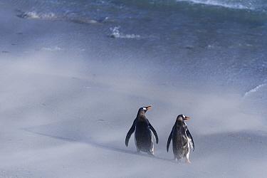 Gentoo Penguin (Pygoscelis papua) pair on windy beach, Dunbar Island, Falkland Islands