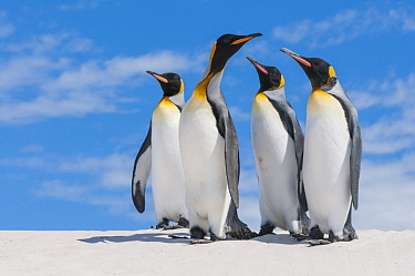 King Penguin (Aptenodytes patagonicus) group, Volunteer Beach, East Falkland Island, Falkland Islands