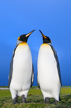 King Penguin (Aptenodytes patagonicus) pair, Volunteer Beach, East Falkland Island, Falkland Islands