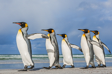 King Penguin (Aptenodytes patagonicus) group on beach, Volunteer Beach, East Falkland Island, Falkland Islands