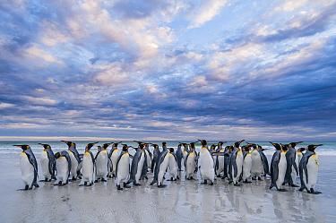 King Penguin (Aptenodytes patagonicus) group on beach, Volunteer Beach, East Falkland Island, Falkland Islands