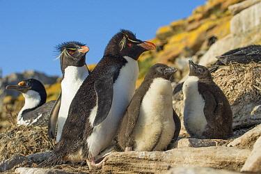 Rockhopper Penguin (Eudyptes chrysocome) parents with chicks, Dunbar Island, Falkland Islands