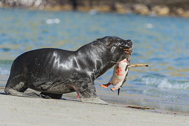 South American Sea Lion (Otaria flavescens) bull with Gentoo Penguin (Pygoscelis papua) prey, Dunbar Island, Falkland Islands, sequence 5 of 8