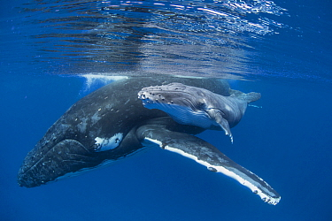 Humpback Whale (Megaptera novaeangliae) mother with four day old calf, Tonga