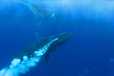 Humpback Whale (Megaptera novaeangliae) male blowing bubbles as part of aggressive display during competitive heat run for female, Tonga