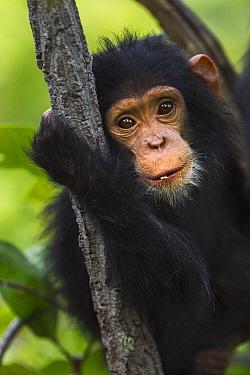 Eastern Chimpanzee (Pan troglodytes schweinfurthii) twenty-one month old baby female, Gombe National Park, Tanzania