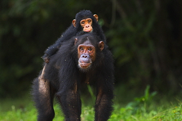 Eastern Chimpanzee (Pan troglodytes schweinfurthii) fifteen year old mother carrying her twenty-one month old daughter, Gombe National Park, Tanzania