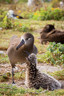 Black-footed Albatross (Phoebastria nigripes) parent with begging chick at nest, Midway Atoll, Hawaiian Leeward Islands, Hawaii