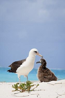Laysan Albatross (Phoebastria immutabilis) parent and chick at nest, Midway Atoll, Hawaiian Leeward Islands, Hawaii