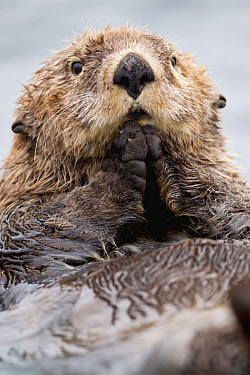 Sea Otter (Enhydra lutris) juvenile, Katmai, Alaska
