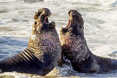 Northern Elephant Seal (Mirounga angustirostris) males fighting, Piedras Blancas, San Simeon, California