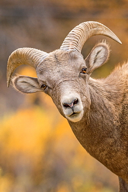 Bighorn Sheep (Ovis canadensis) sub-adult ram, Waterton Canyon, Colorado