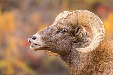 Bighorn Sheep (Ovis canadensis) ram flehming, Waterton Canyon, Colorado