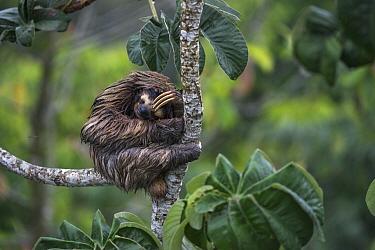 Brown-throated Three-toed Sloth (Bradypus variegatus) sleeping, Soberania National Park, Panama